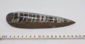 Orthoseras Fossiel