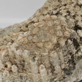 Versteend Koraal, neem ook een kijkje bij de ruwe mineralen, daar staan er nog veel meer